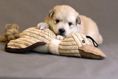 puppy11 BowTiePomsky.com Bowtie Pomsky Puppy For Sale Husky Pomeranian Mini Dog Spokane WA Breeder Blue Eyes Pomskies photo17