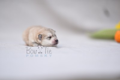 puppy11 BowTiePomsky.com Bowtie Pomsky Puppy For Sale Husky Pomeranian Mini Dog Spokane WA Breeder Blue Eyes Pomskies photo2