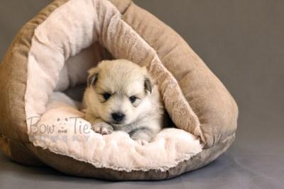 puppy11 BowTiePomsky.com Bowtie Pomsky Puppy For Sale Husky Pomeranian Mini Dog Spokane WA Breeder Blue Eyes Pomskies photo32