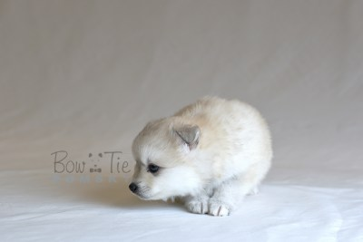 puppy11 BowTiePomsky.com Bowtie Pomsky Puppy For Sale Husky Pomeranian Mini Dog Spokane WA Breeder Blue Eyes Pomskies photo36
