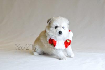 puppy11 BowTiePomsky.com Bowtie Pomsky Puppy For Sale Husky Pomeranian Mini Dog Spokane WA Breeder Blue Eyes Pomskies photo42