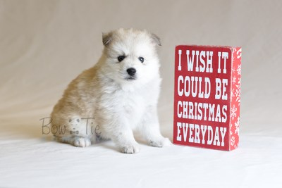 puppy11 BowTiePomsky.com Bowtie Pomsky Puppy For Sale Husky Pomeranian Mini Dog Spokane WA Breeder Blue Eyes Pomskies photo47