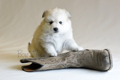 puppy11 BowTiePomsky.com Bowtie Pomsky Puppy For Sale Husky Pomeranian Mini Dog Spokane WA Breeder Blue Eyes Pomskies photo51