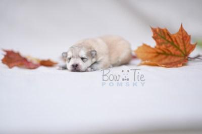 puppy11 BowTiePomsky.com Bowtie Pomsky Puppy For Sale Husky Pomeranian Mini Dog Spokane WA Breeder Blue Eyes Pomskies photo7
