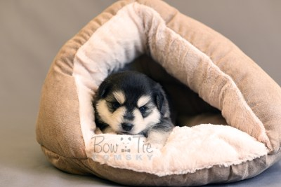 puppy12 BowTiePomsky.com Bowtie Pomsky Puppy For Sale Husky Pomeranian Mini Dog Spokane WA Breeder Blue Eyes Pomskies photo27