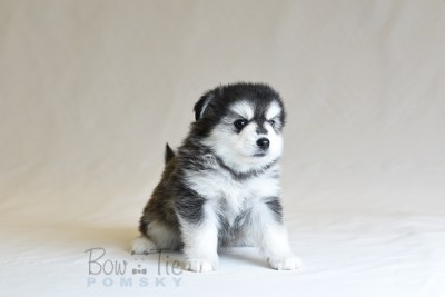 puppy12 BowTiePomsky.com Bowtie Pomsky Puppy For Sale Husky Pomeranian Mini Dog Spokane WA Breeder Blue Eyes Pomskies photo33