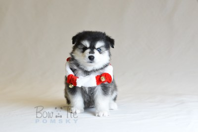 puppy12 BowTiePomsky.com Bowtie Pomsky Puppy For Sale Husky Pomeranian Mini Dog Spokane WA Breeder Blue Eyes Pomskies photo38