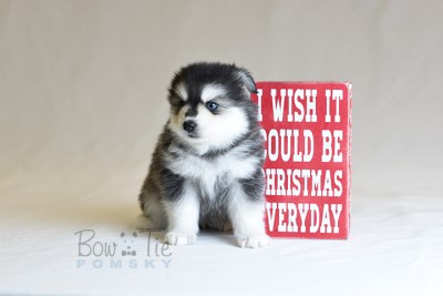 puppy12 BowTiePomsky.com Bowtie Pomsky Puppy For Sale Husky Pomeranian Mini Dog Spokane WA Breeder Blue Eyes Pomskies photo48
