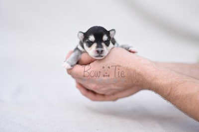 puppy12 BowTiePomsky.com Bowtie Pomsky Puppy For Sale Husky Pomeranian Mini Dog Spokane WA Breeder Blue Eyes Pomskies photo5