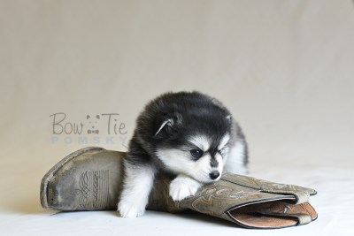 puppy12 BowTiePomsky.com Bowtie Pomsky Puppy For Sale Husky Pomeranian Mini Dog Spokane WA Breeder Blue Eyes Pomskies photo54