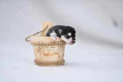 puppy12 BowTiePomsky.com Bowtie Pomsky Puppy For Sale Husky Pomeranian Mini Dog Spokane WA Breeder Blue Eyes Pomskies photo9