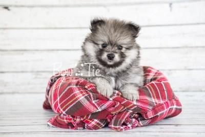 puppy13 BowTiePomsky.com Bowtie Pomsky Puppy For Sale Husky Pomeranian Mini Dog Spokane WA Breeder Blue Eyes Pomskies photo10