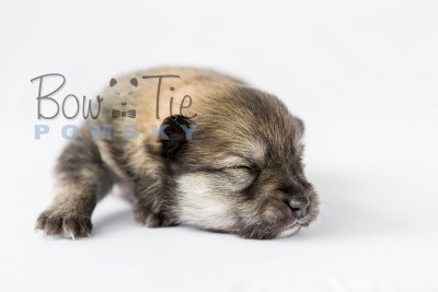 puppy13 BowTiePomsky.com Bowtie Pomsky Puppy For Sale Husky Pomeranian Mini Dog Spokane WA Breeder Blue Eyes Pomskies photo13