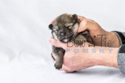 puppy13 BowTiePomsky.com Bowtie Pomsky Puppy For Sale Husky Pomeranian Mini Dog Spokane WA Breeder Blue Eyes Pomskies photo14
