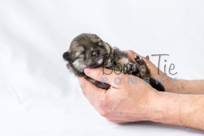 puppy13 BowTiePomsky.com Bowtie Pomsky Puppy For Sale Husky Pomeranian Mini Dog Spokane WA Breeder Blue Eyes Pomskies photo15