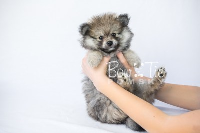 puppy13 BowTiePomsky.com Bowtie Pomsky Puppy For Sale Husky Pomeranian Mini Dog Spokane WA Breeder Blue Eyes Pomskies photo2