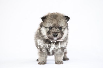puppy13 BowTiePomsky.com Bowtie Pomsky Puppy For Sale Husky Pomeranian Mini Dog Spokane WA Breeder Blue Eyes Pomskies photo28
