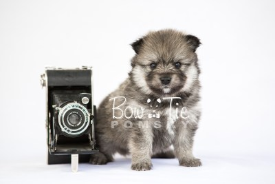 puppy13 BowTiePomsky.com Bowtie Pomsky Puppy For Sale Husky Pomeranian Mini Dog Spokane WA Breeder Blue Eyes Pomskies photo31