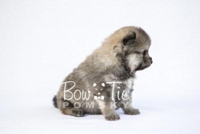 puppy13 BowTiePomsky.com Bowtie Pomsky Puppy For Sale Husky Pomeranian Mini Dog Spokane WA Breeder Blue Eyes Pomskies photo33