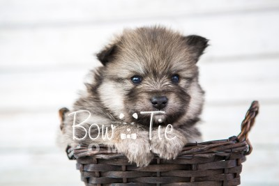 puppy13 BowTiePomsky.com Bowtie Pomsky Puppy For Sale Husky Pomeranian Mini Dog Spokane WA Breeder Blue Eyes Pomskies photo36