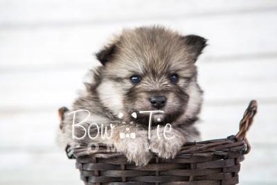 puppy13 BowTiePomsky.com Bowtie Pomsky Puppy For Sale Husky Pomeranian Mini Dog Spokane WA Breeder Blue Eyes Pomskies photo36