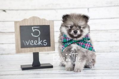 puppy13 BowTiePomsky.com Bowtie Pomsky Puppy For Sale Husky Pomeranian Mini Dog Spokane WA Breeder Blue Eyes Pomskies photo9