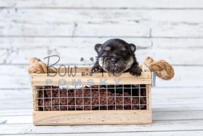 puppy14 BowTiePomsky.com Bowtie Pomsky Puppy For Sale Husky Pomeranian Mini Dog Spokane WA Breeder Blue Eyes Pomskies photo16