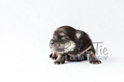 puppy14 BowTiePomsky.com Bowtie Pomsky Puppy For Sale Husky Pomeranian Mini Dog Spokane WA Breeder Blue Eyes Pomskies photo23
