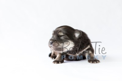 puppy14 BowTiePomsky.com Bowtie Pomsky Puppy For Sale Husky Pomeranian Mini Dog Spokane WA Breeder Blue Eyes Pomskies photo23