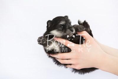 puppy14 BowTiePomsky.com Bowtie Pomsky Puppy For Sale Husky Pomeranian Mini Dog Spokane WA Breeder Blue Eyes Pomskies photo29