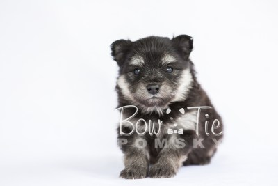 puppy14 BowTiePomsky.com Bowtie Pomsky Puppy For Sale Husky Pomeranian Mini Dog Spokane WA Breeder Blue Eyes Pomskies photo30
