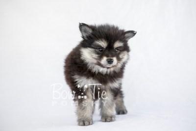 puppy14 BowTiePomsky.com Bowtie Pomsky Puppy For Sale Husky Pomeranian Mini Dog Spokane WA Breeder Blue Eyes Pomskies photo4
