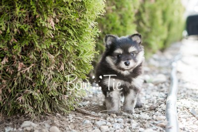 puppy14 BowTiePomsky.com Bowtie Pomsky Puppy For Sale Husky Pomeranian Mini Dog Spokane WA Breeder Blue Eyes Pomskies photo9