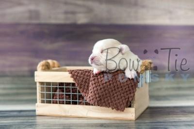 puppy15 BowTiePomsky.com Bowtie Pomsky Puppy For Sale Husky Pomeranian Mini Dog Spokane WA Breeder Blue Eyes Pomskies photo11