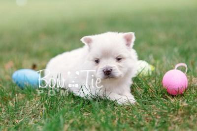puppy15 BowTiePomsky.com Bowtie Pomsky Puppy For Sale Husky Pomeranian Mini Dog Spokane WA Breeder Blue Eyes Pomskies photo12