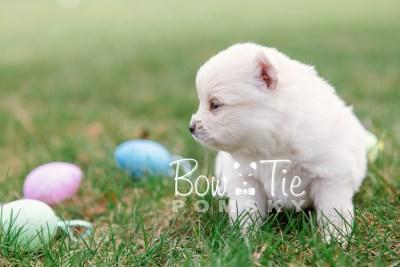 puppy15 BowTiePomsky.com Bowtie Pomsky Puppy For Sale Husky Pomeranian Mini Dog Spokane WA Breeder Blue Eyes Pomskies photo13