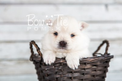 puppy15 BowTiePomsky.com Bowtie Pomsky Puppy For Sale Husky Pomeranian Mini Dog Spokane WA Breeder Blue Eyes Pomskies photo16