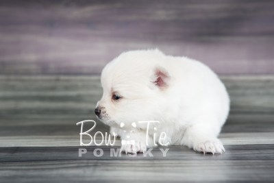 puppy15 BowTiePomsky.com Bowtie Pomsky Puppy For Sale Husky Pomeranian Mini Dog Spokane WA Breeder Blue Eyes Pomskies photo20