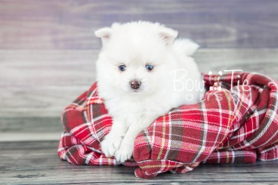 puppy15 BowTiePomsky.com Bowtie Pomsky Puppy For Sale Husky Pomeranian Mini Dog Spokane WA Breeder Blue Eyes Pomskies photo24