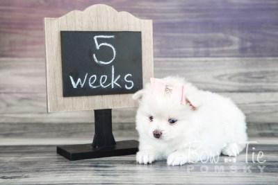 puppy15 BowTiePomsky.com Bowtie Pomsky Puppy For Sale Husky Pomeranian Mini Dog Spokane WA Breeder Blue Eyes Pomskies photo26
