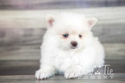 puppy15 BowTiePomsky.com Bowtie Pomsky Puppy For Sale Husky Pomeranian Mini Dog Spokane WA Breeder Blue Eyes Pomskies photo29