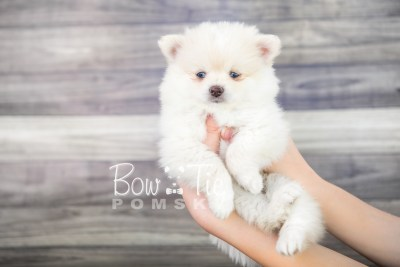 puppy15 BowTiePomsky.com Bowtie Pomsky Puppy For Sale Husky Pomeranian Mini Dog Spokane WA Breeder Blue Eyes Pomskies photo30