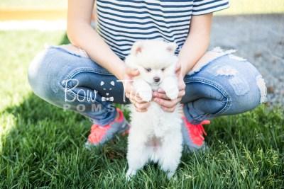 puppy15 BowTiePomsky.com Bowtie Pomsky Puppy For Sale Husky Pomeranian Mini Dog Spokane WA Breeder Blue Eyes Pomskies photo32