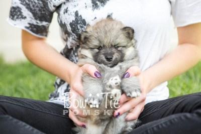 puppy16 BowTiePomsky.com Bowtie Pomsky Puppy For Sale Husky Pomeranian Mini Dog Spokane WA Breeder Blue Eyes Pomskies photo12