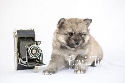 puppy16 BowTiePomsky.com Bowtie Pomsky Puppy For Sale Husky Pomeranian Mini Dog Spokane WA Breeder Blue Eyes Pomskies photo13