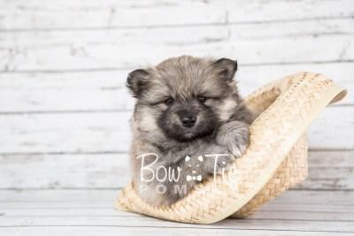 puppy16 BowTiePomsky.com Bowtie Pomsky Puppy For Sale Husky Pomeranian Mini Dog Spokane WA Breeder Blue Eyes Pomskies photo15