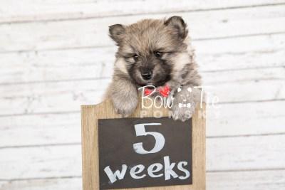 puppy16 BowTiePomsky.com Bowtie Pomsky Puppy For Sale Husky Pomeranian Mini Dog Spokane WA Breeder Blue Eyes Pomskies photo16