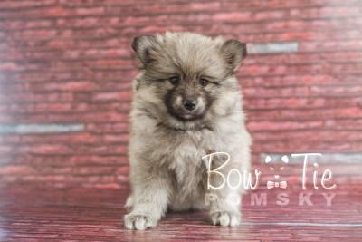 puppy16 BowTiePomsky.com Bowtie Pomsky Puppy For Sale Husky Pomeranian Mini Dog Spokane WA Breeder Blue Eyes Pomskies photo18