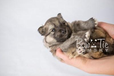 puppy16 BowTiePomsky.com Bowtie Pomsky Puppy For Sale Husky Pomeranian Mini Dog Spokane WA Breeder Blue Eyes Pomskies photo8