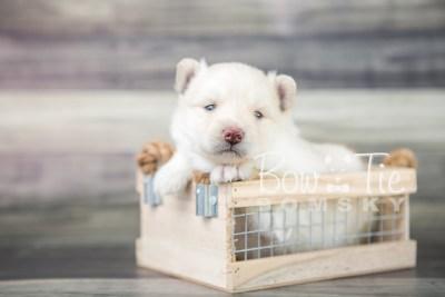 puppy17 BowTiePomsky.com Bowtie Pomsky Puppy For Sale Husky Pomeranian Mini Dog Spokane WA Breeder Blue Eyes Pomskies photo10